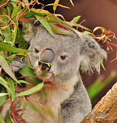 Koala Posters - Koala Lunch Poster by Cindy Fullwiler