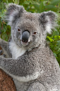 Koala Photos - Koala Phascolarctos Cinereus, Australia by Ingo Arndt