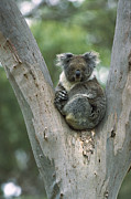 Koala Photos - Koala Phascolarctos Cinereus by Konrad Wothe
