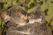 Embracing Posters - Koala Phascolarctos Cinereus Mother Poster by Gerry Ellis