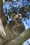 Koala Phascolarctos Cinereus Mother Print by Konrad Wothe
