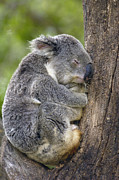 Koala Bear Framed Prints - Koala Phascolarctos Cinereus Sleeping Framed Print by Pete Oxford