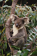 Koala Photos - Koala Phascolarctos Cinereus Young Male by Gerry Ellis