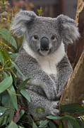 Front View Art - Koala Phascolarctos Cinereus by Zssd