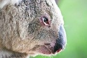 Koala Art - Koala profile portrait by Johan Larson