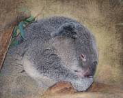 Koala Metal Prints - Koala Sleeping Metal Print by Betty LaRue