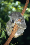 Koala Photo Prints - Koala Sleeping Print by Georgette Douwma