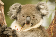 Koala Metal Prints - Koala Snack Metal Print by Mike  Dawson
