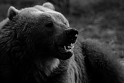 Kodiak Framed Prints - Kodiak Bear Framed Print by Krystal Chasez