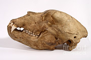 Kodiak Island Prints - Kodiak Bear Skull Print by Ted Kinsman