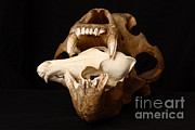 Kodiak Island Posters - Kodiak Bear Skull With Coyote Skull Poster by Ted Kinsman