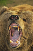 Frontal Metal Prints - Kodiak Bear Ursus Arctos Middendorffi Metal Print by Matthias Breiter