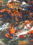 Koi Fish #2 Print by Todd Sherlock