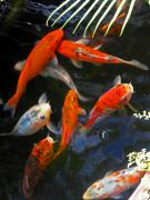 Exotic Fish Prints - Koi Fish II Print by Elizabeth Hoskinson