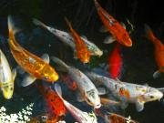 Gold Fish Photos - Koi Fish III by Elizabeth Hoskinson