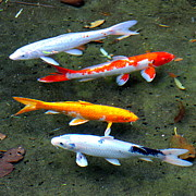Golden Fish Art - Koi fish in a shallow pool by Karon Melillo DeVega