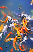 Asian Photos - Koi fish in pond by Elena Elisseeva