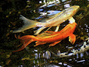 Gold Fish Photos - Koi Fish Swim in Synch by Margie Avellino