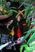 Fish Photo Prints - Koi Pond Print by Nancy Mueller