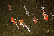 Koi Ponds Photos - Koi Water Garden by Viktor Savchenko