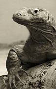 Venomous Prints - Komodo Dragon Print by Heather Applegate
