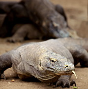 Animal Behavior Photos - Komodo Dragon by Susan.k.