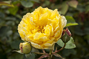 Golden Gate Park Photos - Kordes Golden Gate Rose by Anthony Citro