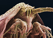 Crustacean Art - Krill Head, Sem by Steve Gschmeissner