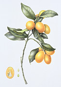 Stem Painting Prints - Kumquat Print by Margaret Ann Eden