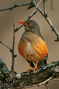 Thrush Prints - Kurrichane Thrush Print by Bruce J Robinson