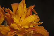 Orange Photos - Kwanso Daylily Ruffles by Teresa Mucha