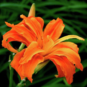Orange Flowers Posters - Kwanso Lily Poster by Rona Black