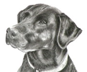 Retriever Drawings Posters - Lab Charcoal Drawing Poster by Susan A Becker