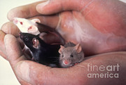Mice Photos - Lab Mice by Science Source