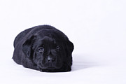 Lab Puppy Posters - Lab puppy Poster by Waldek Dabrowski
