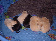 Baby Animal Photos - Lab Pups 3 by Aimee L Maher