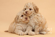 Toy Dog Photo Posters - Labradoodle Puppies Poster by Mark Taylor