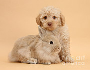 Toy Animals Prints - Labradoodle Puppy With Rabbit Print by Mark Taylor