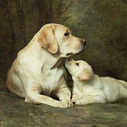 Sitting Photo Prints - Labrador Dog Breed With Her Puppy Print by Sergey Ryumin