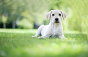 Labrador Retriever Puppy Prints - Labrador Puppy In Uk Garden Print by Images by Christina Kilgour