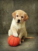 Front View Metal Prints - Labrador Puppy With Red Ball Metal Print by Sergey Ryumin