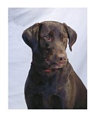 Retriever Digital Art - Labrador Retriever 127 by Larry Matthews