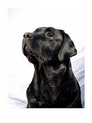 Retriever Digital Art - Labrador Retriever 352 by Larry Matthews
