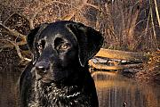 Black Lab Digital Art Metal Prints - Labrador Retriever Metal Print by Cathy  Beharriell