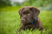 Chocolate Lab Photos - Labrador Retriever by Corey Hochachka