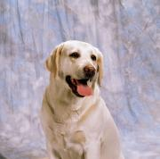 Sits Posters - Labrador Retriever Poster by The Irish Image Collection