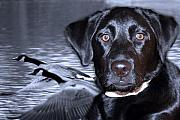 Black Lab Digital Art Metal Prints - Labrador Retriever Thoughts  Metal Print by Cathy  Beharriell