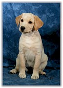 Labrador Digital Art - Labrador Retriever yellow pup by Maxine Bochnia