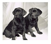 Labrador Retriever Art Digital Art - Labrador Retrievers 582 by Larry Matthews