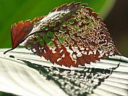 Canna Lily Photos - Lacy Leaf by Kevin Callahan